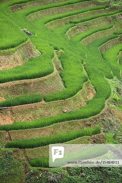 Rice terraces in Muong Hoa valley near to Lao Chai village  home of the Black Hmong people  Sa Pa  Lao Cai Province  Vietnam  Asia..