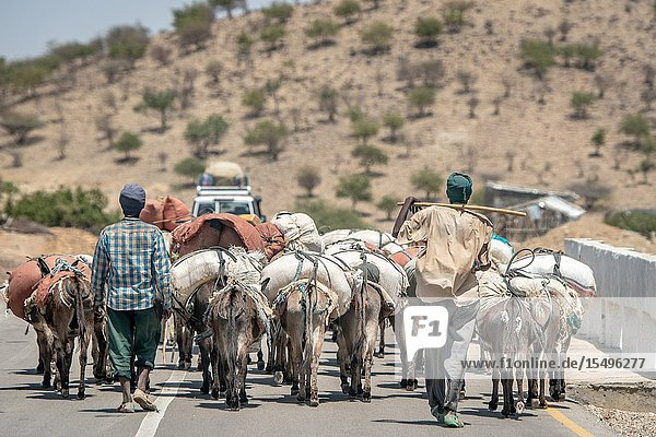 Two men travel behind a pack of donkeys (Equus asinus) carrying packages  Danakil Depression   Ethiopia.