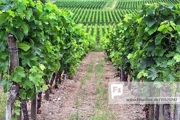 Vineyards  Belvès-de-Castillon  Bordeaux wine region  Gironde department  Département Gironde  region Aquitaine  Nouvelle-Aquitaine  France  Europe