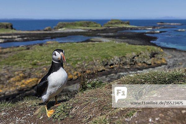 Puffin on the cliffs  Isle of Lunga  Treshnish Isles  Scotland  Europe.