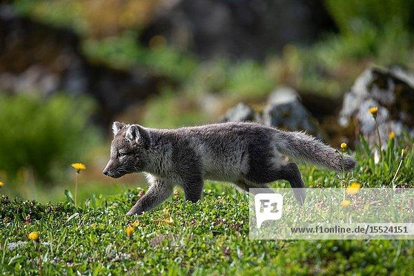 Hunting arctic fox on the West Fjords. Hornstrandir  Iceland.