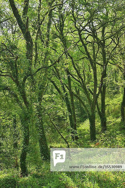 Atlantic forest  oak grove  River Toxa Valley  Pontevedra province  Galicia  Spain