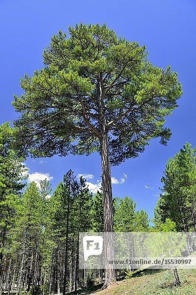 A specymen of Austrian Pine (Pinus nigra) known as 'Pino del Ocejón'. Serranía de Cuenca  Castile-La Mancha  Spain.