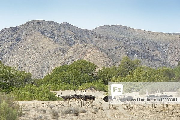 Ostrich (Struthio camelus) walking in landscape and dried river bed  Hoanib desert  Kaokoland  Namibia.
