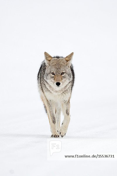 Coyote (Canis latrans) in winter  walking directly towards the photographer  holding eye contact  frontal shot  Yellowstone NP  Wyoming  USA..