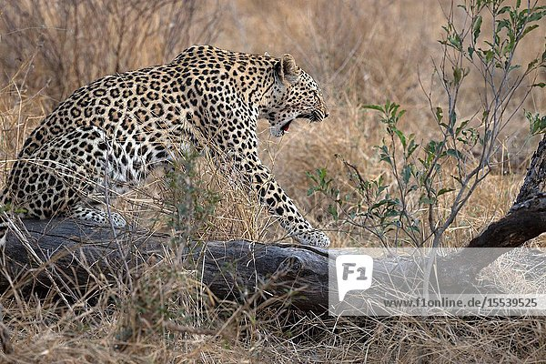 African Leopard (Panthera pardus) in savanna. Kruger National Park. South-Africa.
