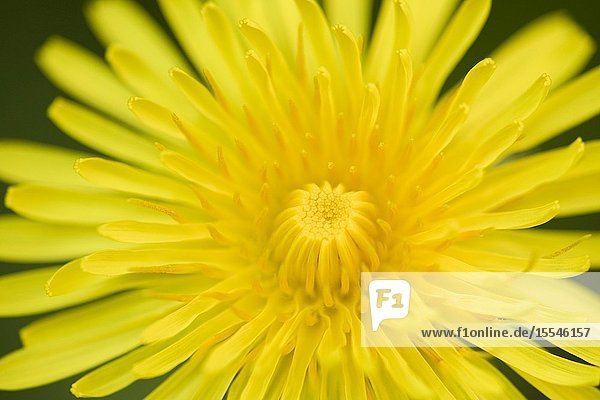 A close-up of a Dandelion flower in spring.