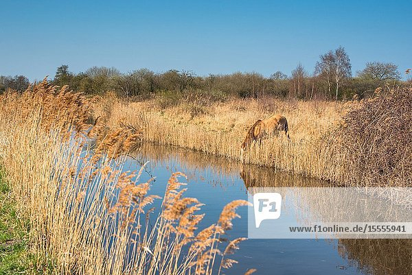 Wild Konik ponies on the banks of Burwell Lode waterway on Wicken Fen nature reserve  Cambridgeshire  England  UK.