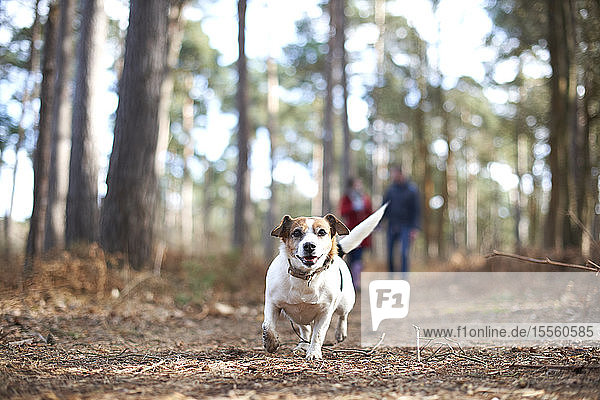Happy  carefree dog running in autumn woods