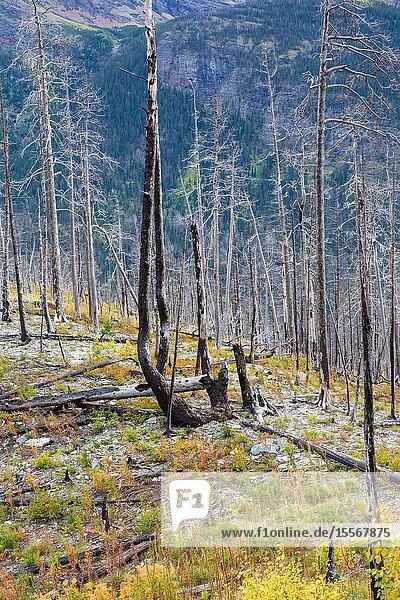 Wildfire damage and forest renewal in East Glacier  Glacier National Park.