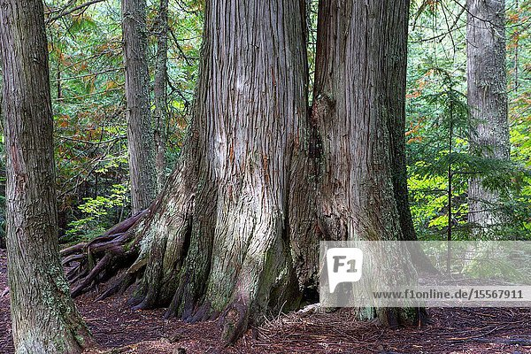 Cedar trees of immense size stand tall and strong in Glacier National Park.