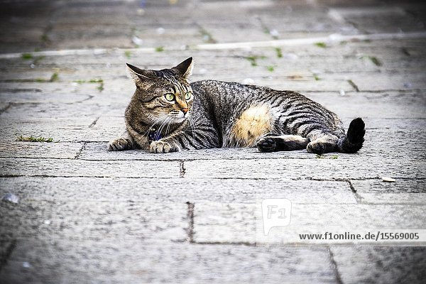 Domestic cat in the streets of Venica  Italy.