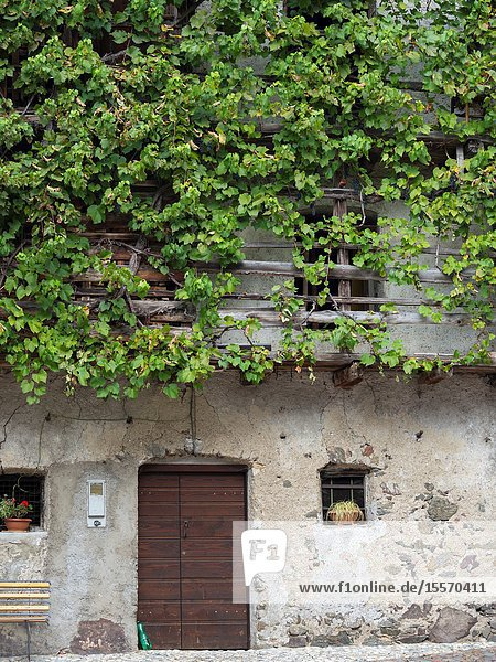 Old vine covering the wall of a barn. Village Imer in the valley of Primiero in the Dolomites of Trentino. Europe  Central Europe  Italy.