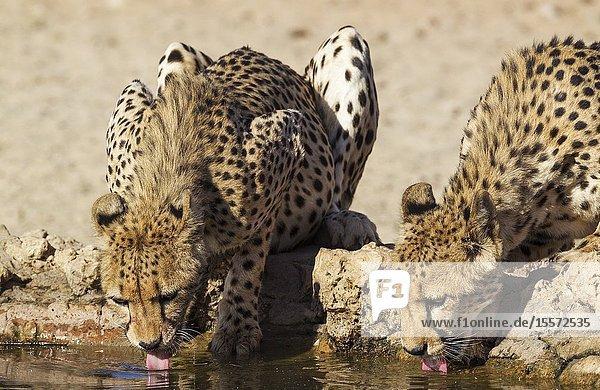 Cheetah (Acinonyx jubatus). Two females. Drinking at a man-made waterhole. Kalahari Desert  Kgalagadi Transfrontier Park  South Africa.