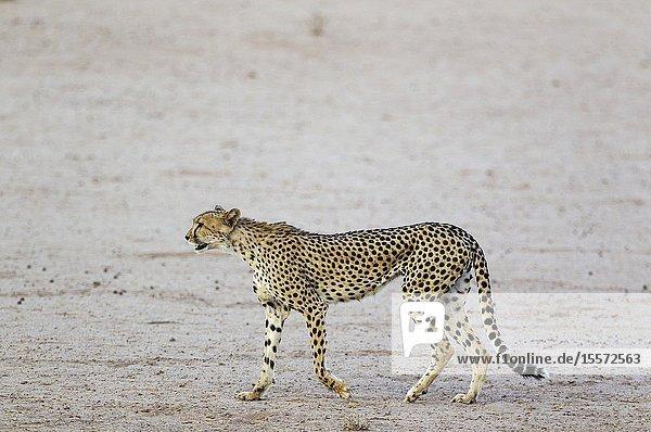Cheetah (Acinonyx jubatus). Female. Roaming in the dry and barren Auob riverbed during a severe drouight. Kalahari Desert  Kgalagadi Transfrontier Park  South Africa.