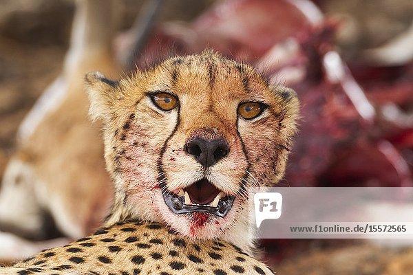 Cheetah (Acinonyx jubatus). Female. Has been feeding on a springbok (Antidorcas marsupialis). Kalahari Desert  Kgalagadi Transfrontier Park  South Africa.