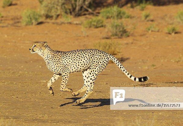 Cheetah (Acinonyx jubatus). Running male. Kalahari Desert  Kgalagadi Transfrontier Park  South Africa.