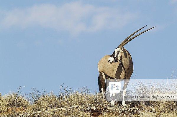 Gemsbok (Oryx gazella). Male on a rocky ridge. Kalahari Desert  Kgalagadi Transfrontier Park  South Africa.