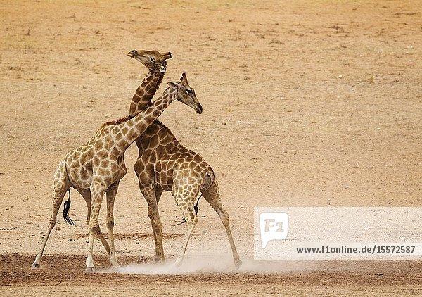 Southern Giraffe (Giraffa giraffa). Fighting males in the dry and barren Auob riverbed  raising a lot of dust. Kalahari Desert  Kgalagadi Transfrontier Park  South Africa.
