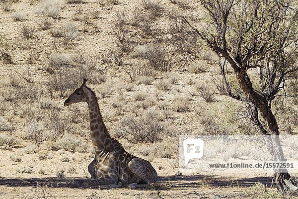 Southern Giraffe (Giraffa giraffa). Male. Resting in the shade of a grey camelthorn tree (Acacia haematoxylon). Kalahari Desert  Kgalagadi Transfrontier Park  South Africa.