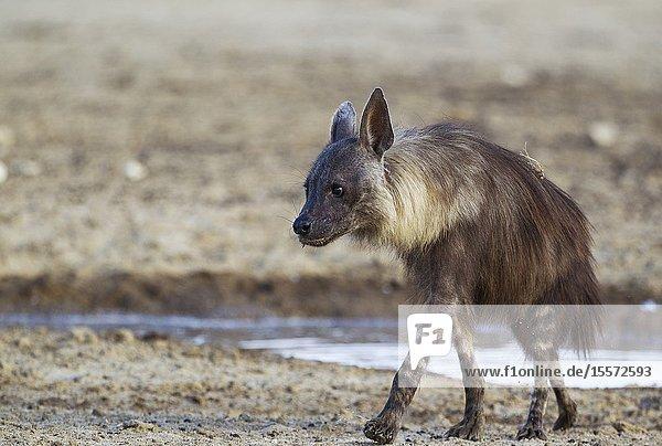 Brown Hyaena (Hyaena brunnea). Has been drinking at a waterhole. Kalahari Desert  Kgalagadi Transfrontier Park  South Africa.