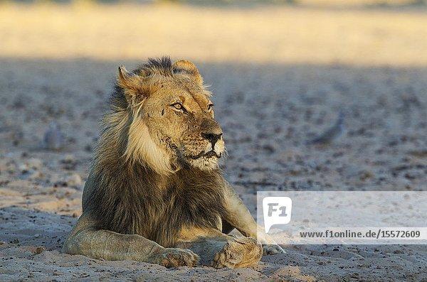 Lion (Panthera leo). Black-maned Kalahari male. Resting in the early morning. Kalahari Desert  Kgalagadi Transfrontier Park  South Africa.