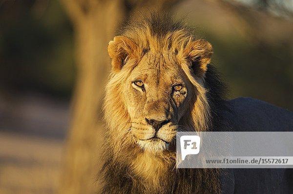 Lion (Panthera leo). Black-maned Kalahari male. In the light of the early morning. Kalahari Desert  Kgalagadi Transfrontier Park  South Africa.