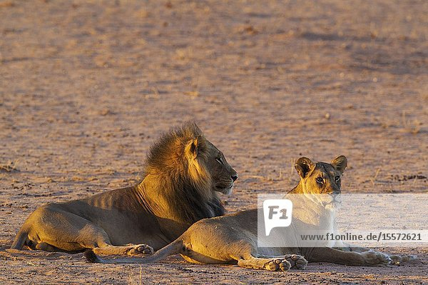 Lion (Panthera leo). Black-maned Kalahari male and female. Mating pair. Resting in the first light of the day. Kalahari Desert  Kgalagadi Transfrontier Park  South Africa.