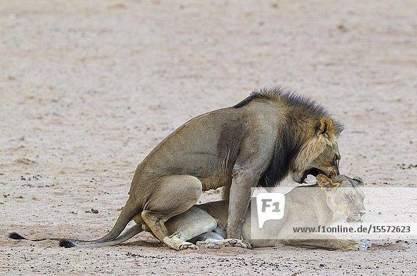 Lion (Panthera leo). Black-maned Kalahari male and female. Mating. Kalahari Desert  Kgalagadi Transfrontier Park  South Africa.