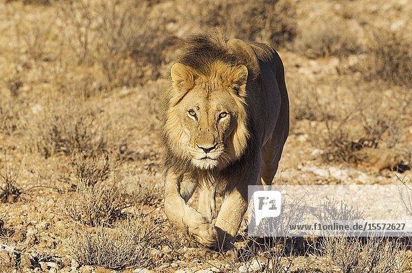 Lion (Panthera leo). Black-maned Kalahari male. Walking. Kalahari Desert  Kgalagadi Transfrontier Park  South Africa.