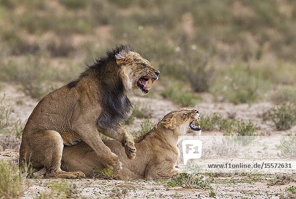 Lion (Panthera leo). Fairly old black-maned Kalahari male and female. Mating. Kalahari Desert  Kgalagadi Transfrontier Park  South Africa.