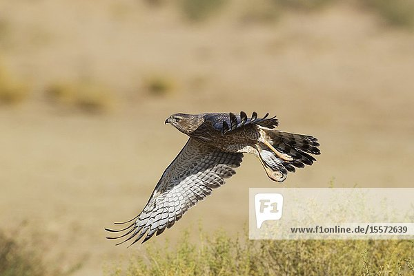 Pale-chanting Goshawk (Melierax canorus). Juvenile. Flying. Kalahari Desert  Kgalagadi Transfrontier Park  South Africa.