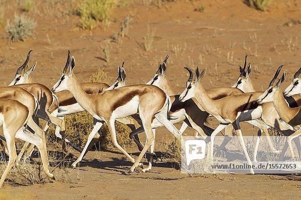 Springbok (Antidorcas marsupialis). Roaming herd. Kalahari Desert  Kgalagadi Transfrontier Park  South Africa.