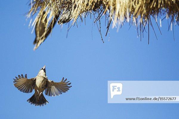 Sociable Weaver (Philetairus socius). Returning to the communal nest. Kalahari Desert  Kgalagadi Transfrontier Park  South Africa.