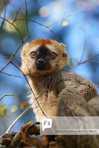 Red-fronted lemur (Eulemur rufifrons) male  Réserve Forestière de Kirindy  Kirindy Forest  Western Madagascar.