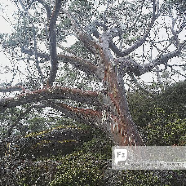 Australien  Tasmanien  Ansicht eines Baumes im Regenwald