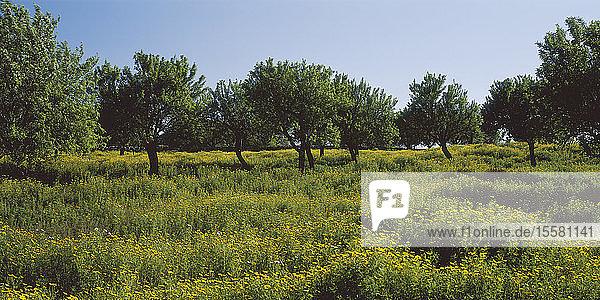 Spanien  Mallorca  Blick auf Mandelbäume in einer Blumenwiese
