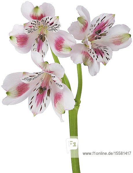 Peruvian Lily flowers against white background  close up