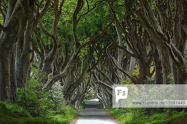 Nordirland  in der Nähe von Ballymoney  Allee und Bäume  bekannt als Dunkle Hecken