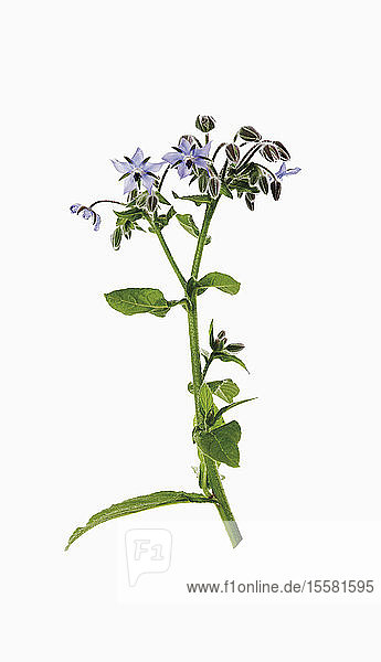 Borage against white background
