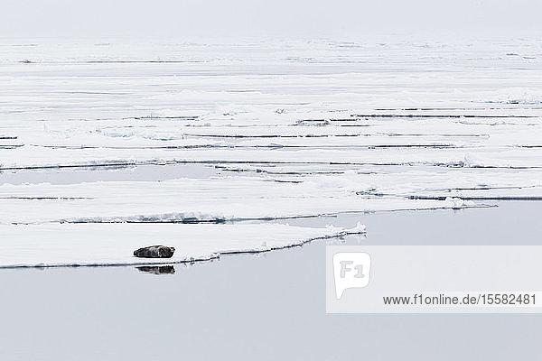 Europe  Norway  Spitsbergen  Svalbard  View of bearded seal lying on drift ice