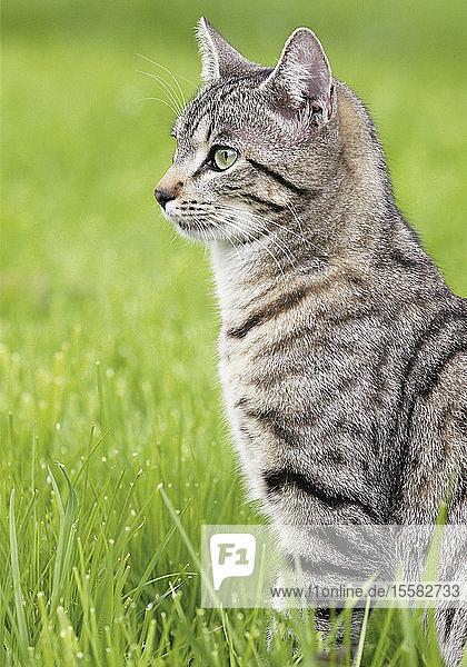 Deutschland  Katze auf der Wiese sitzend