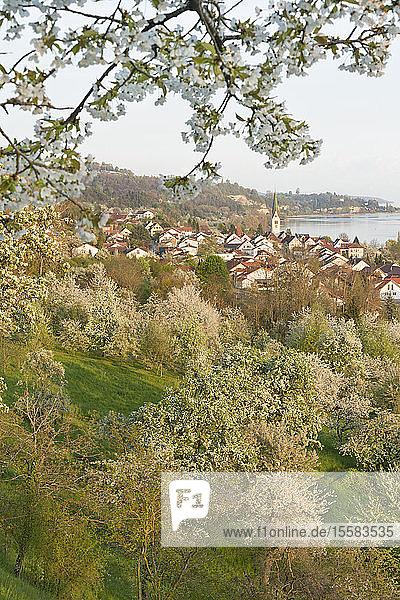 Deutschland  Baden-Württemberg  Bodensee  Sipplingen  blühende Bäume und Stadtbild mit Kirche