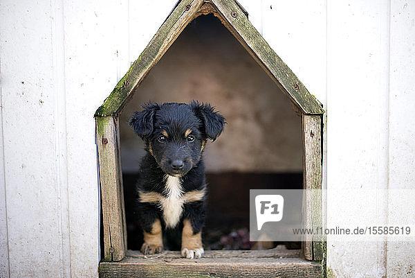 Welpe im Hundezwinger  Kanada