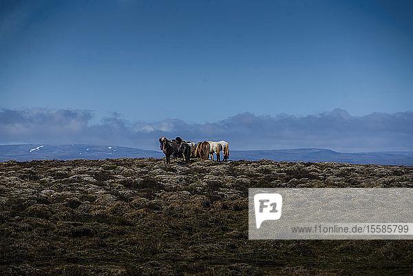 Herde isländischer Pferde in felsiger Landschaft  ReykjavÃk  Gullbringusysla  Island