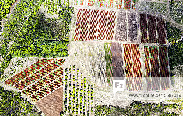 Cultivated fields and fig tree forest from above by drone  Pinefield Plantation  Antigua  Leeward Islands  West Indies  Caribbean