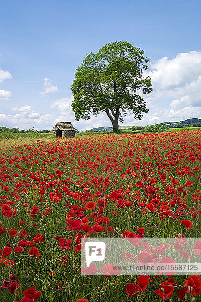 Beautiful red poppies in the Derbyshire countryside  Baslow  Derbyshire  England  United Kingdom