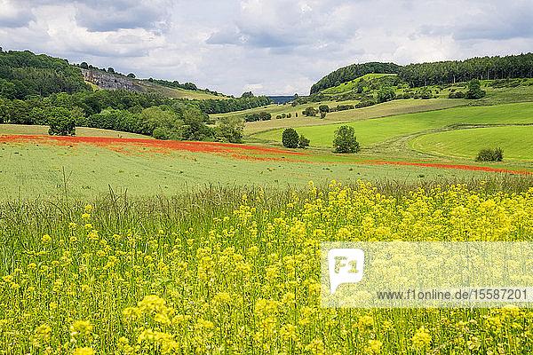 Poppy field with oil seed rape set in beautiful Derbyshire countryside  Baslow  Derbyshire  England  United Kingdom