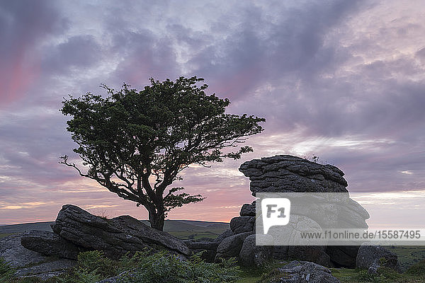 Hawthorn tree and granite tor at sunset  Dartmoor National Park  Devon  England  United Kingdom