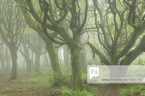 Misty conditions in a deciduous woodland in spring  Cornwall  England  United Kingdom